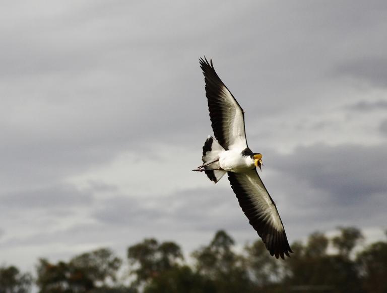 Masked Lapwing - Swooping (Steve Garner Flickr -  CREDIT)