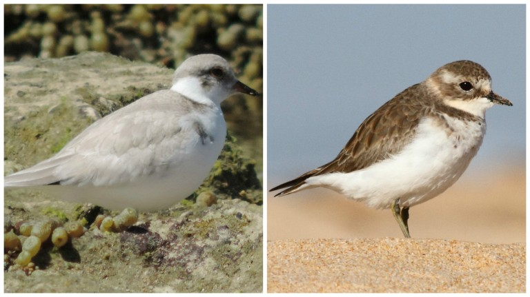 Spot the difference - Juvenile Hoodie and Adult Double Banded Plover