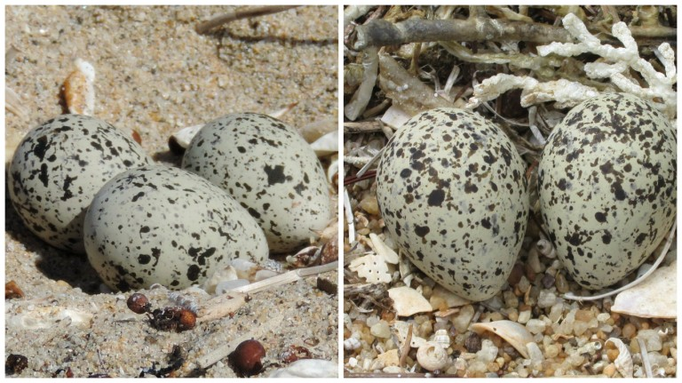 Spot the difference; L Hoodie egg. R Red-Capped Plover egg