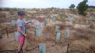 An honorary GORCC conservation team member waters the newly planted indigenous fauna at Fishermans Beach.