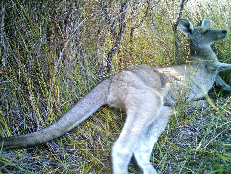 Kangaroo resting - anglesea heathlands