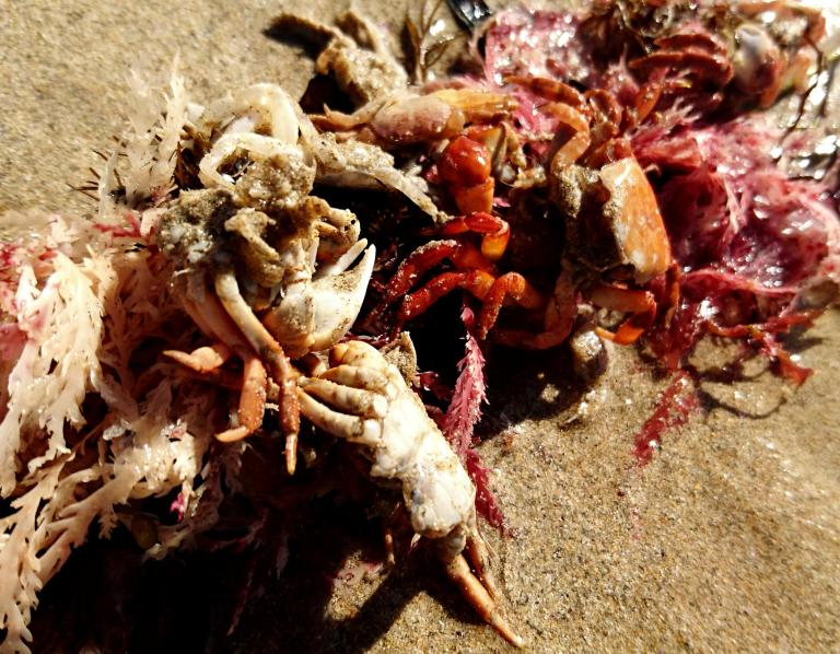Crab Exoskeletons
