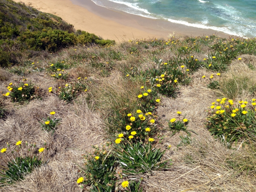Jan Juc Coast Action spreads word on Gazania weed hazard to nature