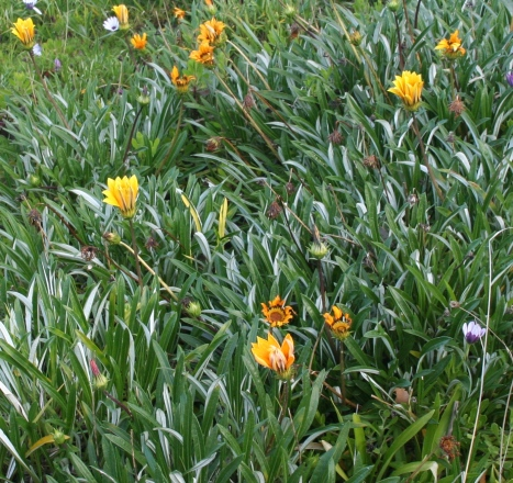 Invasive South African Gazania weed taking over Jan Juc cliffs