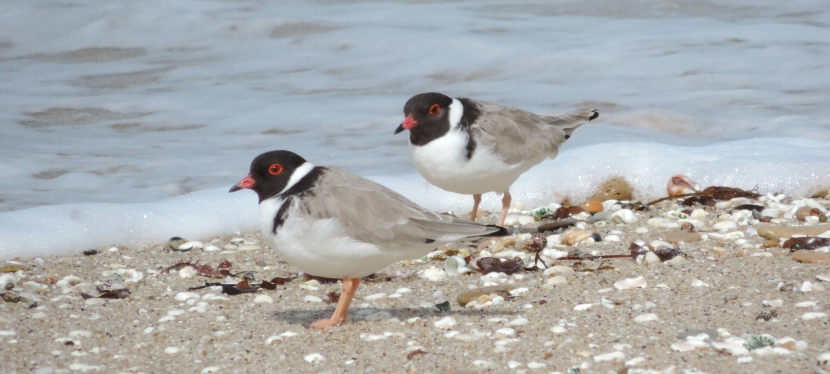 Season looks bright for Surf Coast hooded plovers